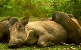 """Video: Chọn nhầm con mồi, sư tử chạy """"tóe khói"""" vì bị lợn lòi đuổi ngược trở lại"""