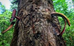 """Giải mã bí ẩn: Vùng đất nổi tiếng nhờ cây """"nuốt chửng"""" xe đạp và câu chuyện ít người biết"""