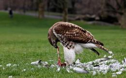 24h qua ảnh: Chim ưng đuôi lửa xẻ thịt bồ câu trong công viên Mỹ