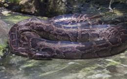 Vì sao gọi trăn Anaconda là 'quái vật' đáng sợ nhất rừng Amazon