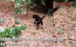 Video: Trận chiến của chó Phú Quốc và hổ mang chúa