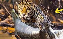 Video: Dòng nước đục không thể bảo vệ cá sấu caiman khỏi cơn đói của báo đốm