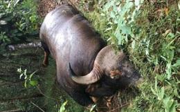 Cá thể Bò tót nặng gần 500kg chết tại Khu Bảo tồn thiên nhiên, văn hóa Đồng Nai