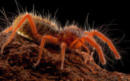 """Giải mã nhện lạc đà: """"Quỷ dữ giết người"""" siêu tốc độ trên sa mạc?"""
