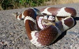 Video: Rắn hổ trâu ăn thịt đồng loại theo kiểu kinh dị, chim sát thủ bỏ mạng khi cố tình ăn thịt rắn đuôi chuông
