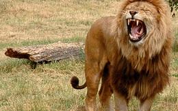 Thấy sư tử tha thịt để trước miệng cáo rồi bỏ đi, người đàn ông lóe lên ý tưởng kiếm sống, 2 ngày sau nhận kết quả ngoài tưởng tượng