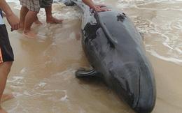 Giải cứu cá heo 40 kg mắc cạn, đưa ra biển an toàn