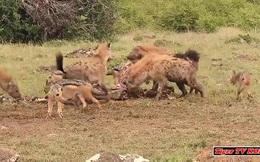 Video: Linh cẩu trả giá đắt vì dám lộng hành trong lãnh thổ của sư tử