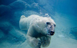 Gấu Bắc cực bơi lội siêu phàm, sao chúng lại có nguy cơ tuyệt chủng?