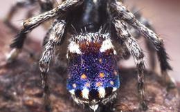 Bí ẩn loài nhện mang trên mình 'kiệt tác' tựa như bức tranh của danh họa Van Gogh