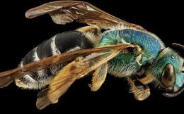 Video: Khám phá loài ong nửa đực nửa cái hiếm gặp