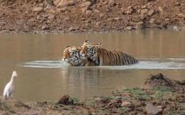 Hổ đực cõng bạn tình đằm nước để tránh nóng