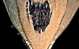 Thử nghiệm bom hạt nhân tiết lộ tuổi thật của cá mập voi