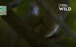 Video: Rắn Mamba, nỗi ám ảnh chết chóc của người dân châu Phi