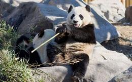 Vườn thú Canada trả Trung Quốc 2 chú gấu trúc do ảnh hưởng Covid-19