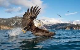 24h qua ảnh: Đại bàng đầu trắng bắt cá trên hồ ở Alaska