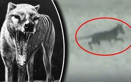 Siêu khuyển lai hổ: Sinh vật quý hiếm, bí ẩn tái xuất sau 84 năm được cho là tuyệt chủng?