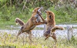 Cuộc tranh chấp quyết liệt nhưng không đổ máu của cặp cáo