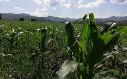 Châu chấu phá hoại hàng ngàn hecta lúa và hoa màu ở bắc Lào