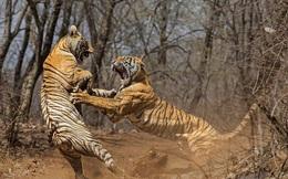 24h qua ảnh: Cặp hổ cái quyết chiến tranh giành lãnh địa ở Ấn Độ