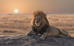 """Ngày tàn của """"vị vua"""" già, bầy linh cẩu vừa ăn thịt vừa có hành động khó hiểu"""