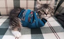 Vượt lên chính mình – Bài học thấm thía từ chú mèo cụt 2 chân từng suýt bị vứt bỏ trở thành 'ngôi sao' MXH