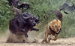 Cuộc chiến oai hùng: Trâu rừng hàng hàng lớp lớp đánh đuổi cả một bầy sư tử
