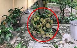 Khoe cây mít mọc chi chít ở gốc, người trồng bất ngờ bị dân mạng cảnh báo một điều