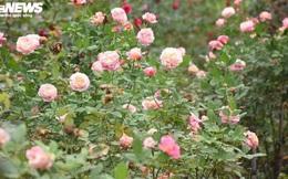 Ngắm hơn 10.000 gốc hồng cổ của nông dân đất Cảng