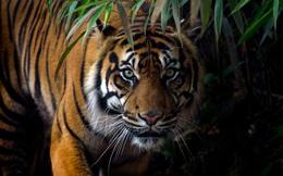 Câu chuyện thú vị từ chúa sơn lâm: Với hổ đực, 'vợ con' là trên hết!