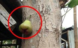 """Quả roi """"ngang ngược"""" khiến dân mạng bật cười: Mọc trực tiếp từ thân cây, lẻ loi một mình"""
