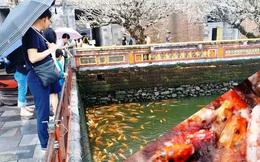 Đến Đại nội Huế ngắm đàn cá 'khủng' 5.000 con lấy may ngày đầu năm 2020