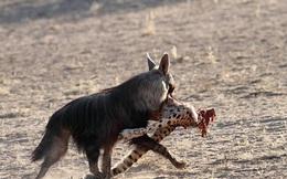 Cực bất ngờ cảnh linh cẩu hiếm chén thịt báo săn