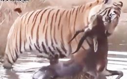 Video: Những pha săn bắt 'nhanh như chớp', kết liễu con mồi trong tích tắc của hổ