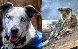 """Chú chó anh hùng gây xôn xao cộng đồng mạng khi sở hữu """"siêu năng lực"""" giúp giải cứu gấu koala gặp nạn trong thảm họa cháy rừng ở Úc"""