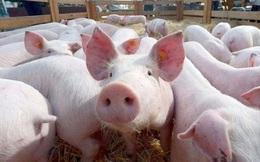 Giá lợn hơi sụt gần 20.000 đồng/kg trong một tuần