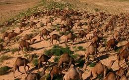 Úc giết 10.000 con lạc đà vì xâm chiếm đất đai và uống quá nhiều nước