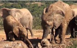 Đàn voi hợp sức giải cứu voi con khỏi vũng lầy