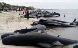 1001 thắc mắc: Vì sao lại có hiện tượng cá voi tự sát tập thể