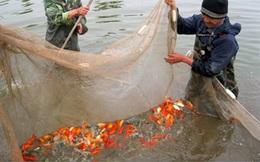 Thái Bình: Bị đầu độc, cá chép đỏ chết hàng loạt?