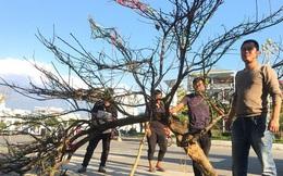 Lên Lai Châu săn đào rừng, bán liền tay lãi ngay trăm triệu