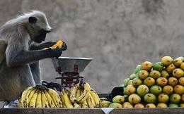 Bị hàng trăm con khỉ hung hăng xâm chiếm, người dân buộc phải di cư sang vùng đất khác, nhường lại đất đai cây trái cho chúng