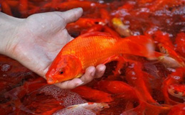 Cách chọn cá chép cúng ông Công ông Táo khỏe và đẹp nhất