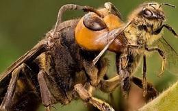 1001 thắc mắc: Sát thủ ong mặt quỷ kinh khủng thế nào, xử lý sao nếu bị đốt?