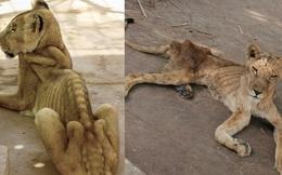 """Xót xa hình ảnh """"chúa sơn lâm"""" sư tử chỉ còn da bọc xương, đờ đẫn di chuyển trong vườn thú ở Châu Phi"""