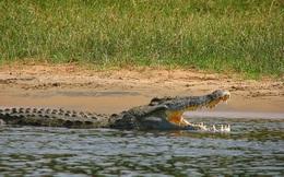 Quá trình ăn uống khổ cực của cá sấu