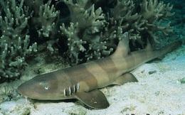 Cá mập đang tiến hóa để có thể đi bộ trên mặt đất