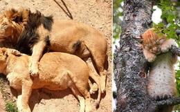 """""""Hết Tết rồi! Dậy đi làm thôi!"""": Loạt ảnh động vật ngủ nướng cute hết mức khiến ai cũng phải phì cười vì như nhìn thấy chính mình"""