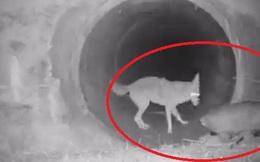 Cảnh cặp đôi sói hoang và chồn lửng rủ nhau khám phá đường hầm khiến dân mạng phát sốt vì đáng yêu hệt như trong phim