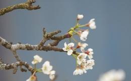 Hoa lê rừng trắng tinh khôi xuống phố khoe sắc sau Tết